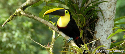 Choco Toucan (Ramphastos brevis), by Andrew Smiley
